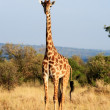 Stock Photo: Maasai or Kilimanjaro Giraffe grazing Kenya