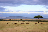 Wildebeest herd Masai Mara Kenya Africa — Stock Photo