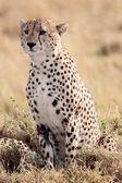 Cheetah Masai Mara Reserve Kenya Africa — Stock Photo