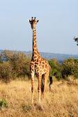 Maasai or Kilimanjaro Giraffe grazing Kenya — Stock Photo