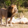 Stock Photo: Female and male Lion