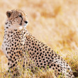 Cheetah — Stock Photo #38792311