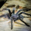 Foto de Stock  : Black tarantulin peruviAmazon jungle at Madre de Dios P