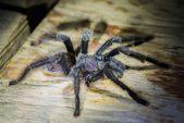 Black tarantula in the peruvian Amazon jungle at Madre de Dios P — Stock Photo