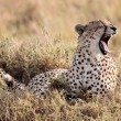Stock Photo: Cheetah yawning Masai MarReserve KenyAfrica