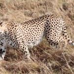 Cheetah Masai Mara Reserve Kenya Africa — Stock Photo #41087075