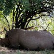Stock Photo: White Rhinoceros Masai Marreserve KenyAfrica