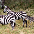 Stock Photo: Grevy's ZebrMasai Marreserve KenyAfrica