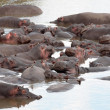 Stock Photo:  Hippopotamus masai marriver kenya