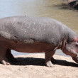 Stock Photo: Hippopotamus Masai MarReserve KenyAfrica
