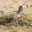Stock Photo: Cheetahs Masai MarReserve KenyAfrica