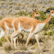 Stock Photo: Vicunas in peruviAndes ArequipPeru