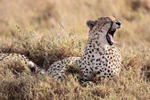 Cheetah yawning Masai Mara Reserve Kenya Africa — Stock Photo