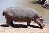 Hippopotamus Masai Mara Reserve Kenya Africa — Stock Photo