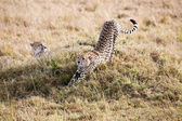 Cheetahs Masai Mara Reserve Kenya Africa — Stock Photo