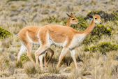 Vicunas in the peruvian Andes Arequipa Peru — Stock Photo
