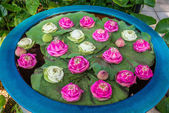 Floating lotus flowers garden — Stock Photo