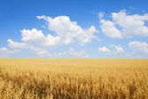 Field of oats — Stockfoto
