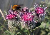 水飞蓟花上的黄蜂 — 图库照片