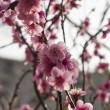 Stock Photo: Peach flowers.