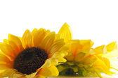 Sunflower on white background. — Stock Photo