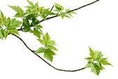 Ash-leaved maple branch — Stock Photo