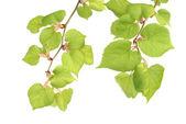 Alder branches — Stock Photo