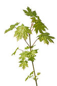 Young maple tree — Stock Photo