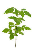Ash-leaved maple sapling — Stock Photo