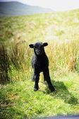 Baby Black Lamb — Stock Photo