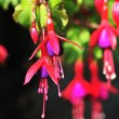 Fuchsia Flowers — Stock Photo #30886287