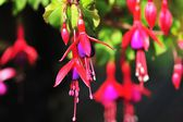 Fuchsia Flowers — Stock Photo