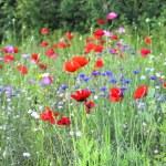 Wild Summer Flowers — Stock Photo #30976963