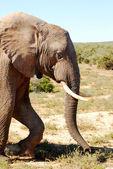Elephants — Zdjęcie stockowe
