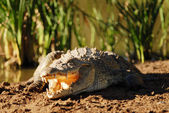 Crocodile in the sun — Stock Photo