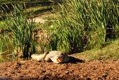A resting Crocodile — Stock Photo