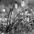 Stock Photo: Snow Drops
