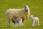 Spring Lambs — Stock Photo