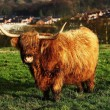 Highland Cow — Stock Photo #38876501