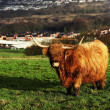 Highland Cow — Stock Photo #38876717