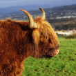 Highland Cow — Stock Photo #38876783