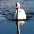 Stock Photo: Swimming swan