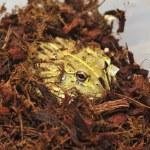 Bull Frog — Stock Photo #51776245
