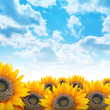 Bright Beautiful Flower Sunflower Background - Stock Photo