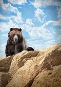 Vilda björnen däggdjur på klippa med moln — Stockfoto