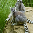 Two Lemur Animals — Stock Photo
