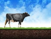 Farmy krów chodzenie po trawie gleby — Zdjęcie stockowe