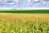 Green field with corn — Stock Photo