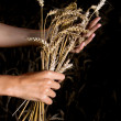 Hands and ripe wheat ears - Stockfoto