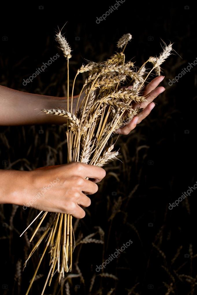 Hands and ripe wheat ears on the field — Stock Photo #13980549